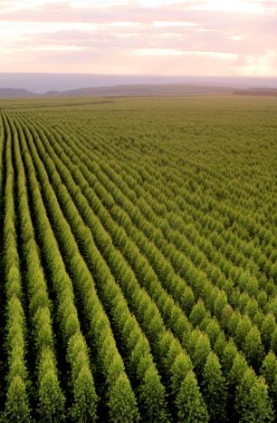 Novo levantamento consolida as florestas cultivadas como a maior cultura agrícola de Minas Gerais